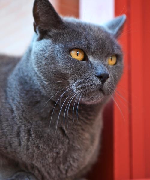 Hipertensão em gatos