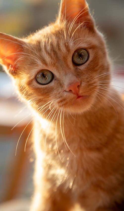 Gatos ficam imunes ao coronavírus e podem ajudar no desenvolvimento da vacina, aponta estudo